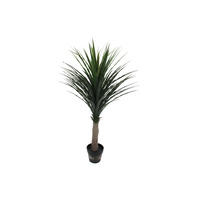 Nolina Recurvata Palm Tree 120cm