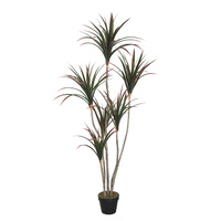 Dracanea Dragon Tree 160cm